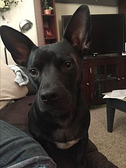 Dachshund/French Bulldog Mix Dog for adoption in Phoenix, Arizona - Lulu