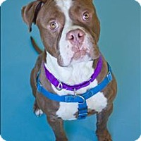 Bulldog/American Staffordshire Terrier Mix Dog for adoption in Portsmouth, Virginia - Goblin