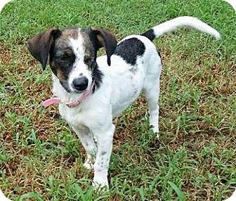 Beagle/Dachshund Mix Dog for adoption in Dallas, Texas - Callie