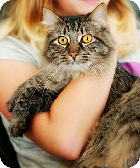 Maine Coon Cat for adoption in San Carlos, California - Tansy