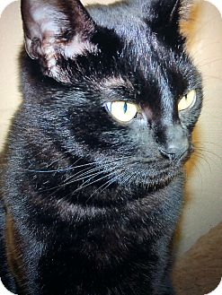 Domestic Shorthair Cat for adoption in Chula Vista, California - Salem