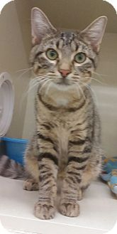 Domestic Shorthair Kitten for adoption in Naperville, Illinois - Miles-6 MONTHS