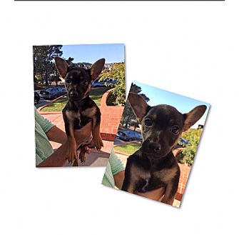 Terrier (Unknown Type, Medium) Mix Puppy for adoption in South San Francisco, California - Strider
