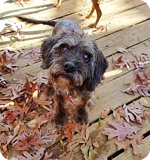 Poodle (Miniature)/Terrier (Unknown Type, Small) Mix Dog for adoption in Kingston, Tennessee - Dottie