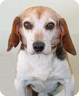 Beagle Mix Dog for adoption in Encinitas, California - Van Go
