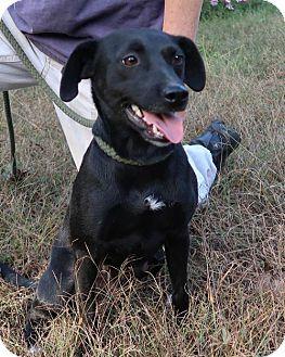 Australian Cattle Dog/Labrador Retriever Mix Dog for adoption in Burbank, Ohio - Precious