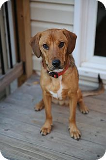 Hound (Unknown Type)/Labrador Retriever Mix Dog for adoption in Centreville, Virginia - Cody