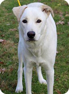 Shepherd (Unknown Type)/Labrador Retriever Mix Dog for adoption in Chester Springs, Pennsylvania - Brutus