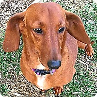 Adopt A Pet :: Ginger - Andalusia, PA