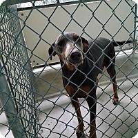 Adopt A Pet :: Fenix - California City, CA