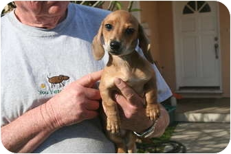 Dachshund Puppy for adoption in Garden Grove, California - Corky