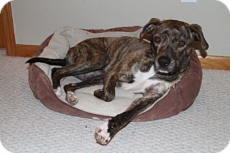 American Pit Bull Terrier Mix Dog for adoption in Muskegon, Michigan - Dee Dee