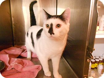 Domestic Shorthair Kitten for adoption in Maywood, New Jersey - Mr. Moo