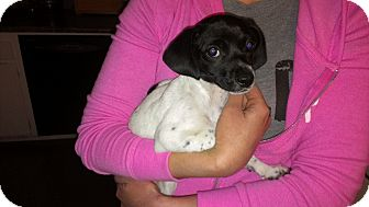 Dachshund/Chihuahua Mix Puppy for adoption in Burbank, California - Rochelle