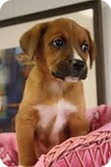 Boxer/Labrador Retriever Mix Puppy for adoption in Marietta, Georgia - Fiona