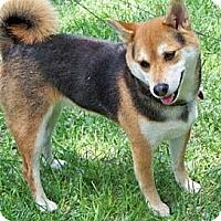 Adopt A Pet :: Lucy - Centennial, CO