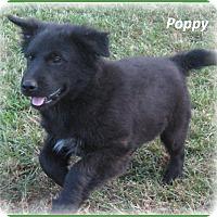 Adopt A Pet :: Poppy-ADOPTION PENDING - Marlborough, MA