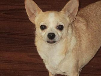 Chihuahua Dog for adoption in Centreville, Virginia - Taco