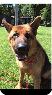 German Shepherd Dog Dog for adoption in Fort Worth, Texas - Jake
