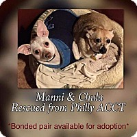 Chihuahua Mix Dog for adoption in Honeoye Falls, New York - Manni & Chula (bonded pair)