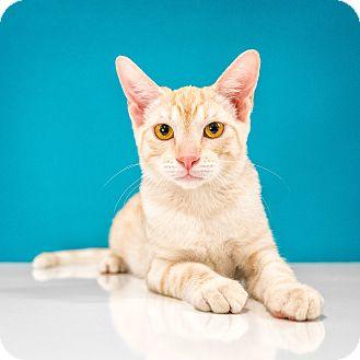 Domestic Shorthair Kitten for adoption in Chandler, Arizona - Dolce