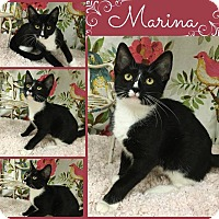 Domestic Shorthair Cat for adoption in Joliet, Illinois - Marina