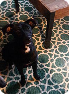 Labrador Retriever Mix Dog for adoption in Austin, Texas - Lillian