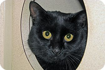 Domestic Shorthair Cat for adoption in Ruidoso, New Mexico - Giff