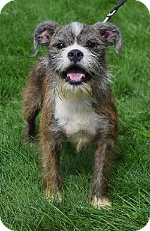 French Bulldog/Brussels Griffon Mix Dog for adoption in Valparaiso, Indiana - Bentley