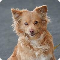 Adopt A Pet :: Petunia - Palmdale, CA