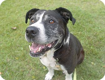 Boxer/American Bulldog Mix Dog for adoption in Little River, South Carolina - Sadie