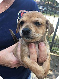 Schnauzer (Standard) Mix Puppy for adoption in Fort Atkinson, Wisconsin - Ernest