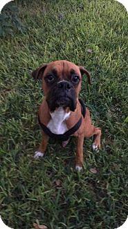 Boxer Dog for adoption in Austin, Texas - Henry