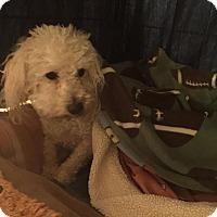 Adopt A Pet :: Rosie Pearl, MultiPoo - Corona, CA