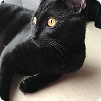 Bombay Cat for adoption in Dallas, Texas - Archibald