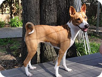 Basenji Dog for adoption in Seminole, Florida - Jill