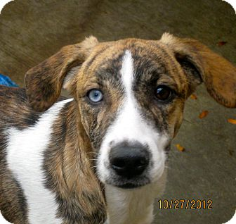 Beagle/Australian Shepherd Mix Puppy for adoption in Chicago, Illinois