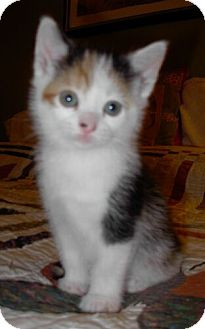 Domestic Shorthair Kitten for adoption in Reston, Virginia - Autumn