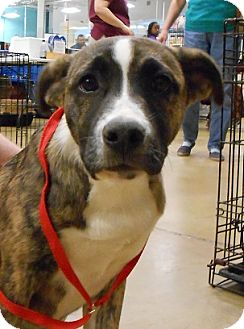 Bull Terrier/German Shepherd Dog Mix Puppy for adoption in Gainesville, Florida - Sara Beth