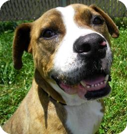 American Pit Bull Terrier/Boxer Mix Dog for adoption in Lincolnton, North Carolina - Zeus