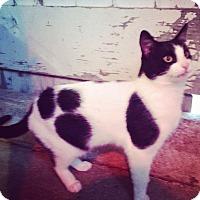 Adopt A Pet :: Oreo - Bentonville, AR