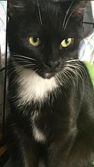 Domestic Shorthair Cat for adoption in New City, New York - Heidi