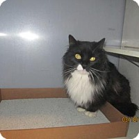 Domestic Longhair Cat for adoption in Fort Collins, Colorado - Shay