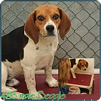 Adopt A Pet :: Billy- Urgent Foster Home Need - Wood Dale, IL