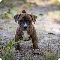 Adopt A Pet :: Dexter - Weeki Wachee, FL