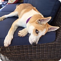 Adopt A Pet :: Shiloh - Sunnyvale, CA