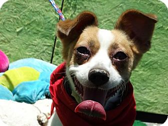 Jack Russell Terrier/Pomeranian Mix Dog for adoption in Vacaville, California - Harley