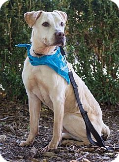 Labrador Retriever Mix Dog for adoption in New York, New York - Treble - watch my new video!