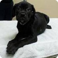 Adopt A Pet :: Cameron - Potomac, MD