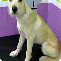 Adopt A Pet :: Scooby - Boulder, CO
